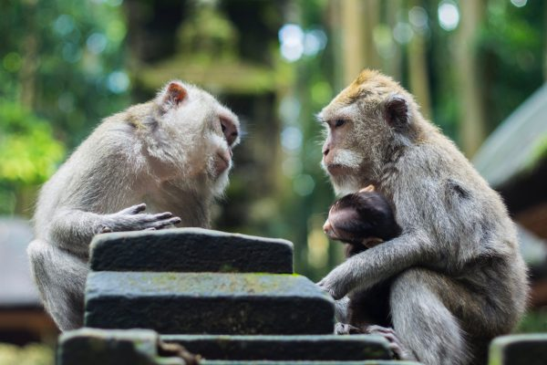 Three monkeys engrossed in a two-way conversation with head tilted to represent like in any relationship collaborative conversation is key to enhance brand intimacy on social media